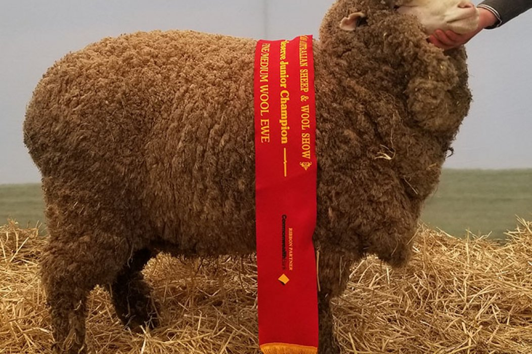 Reserve Junior Champion Fine/Medium Ewe